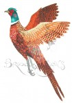 Male British Pheasant.