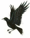 Carrion Crow.